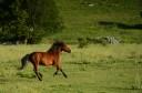 Wild Bosnian mountain horses, Equus caballus, Paklenica National Park, Velebit Nature Park, Rewilding Europe rewilding area, Velebit mountains, Croatia