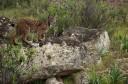Iberian Lynx (Lynx pardinus) female.Sierra de Andújar Natural Park, Mediterranean woodland of Sierra Morena, north east Jaén Province, Andalusia. SPAIN