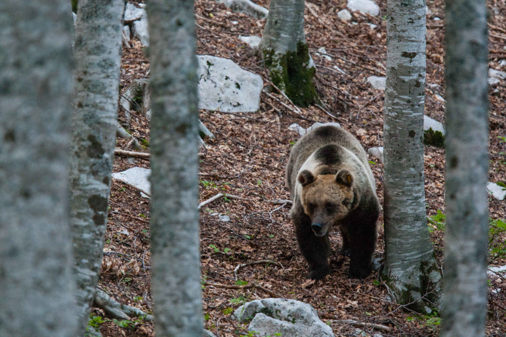 Salviamo l'Orso wins grant for bear conservation in the Central Apennines
