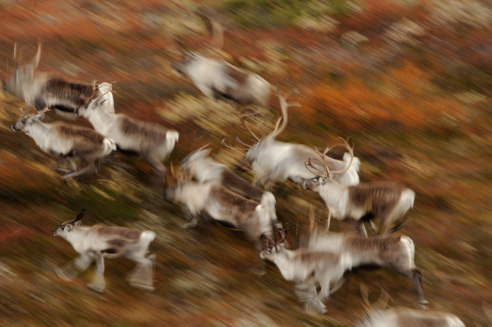 Wild tundra reindeer in the Forollhogna National Park, Norway
