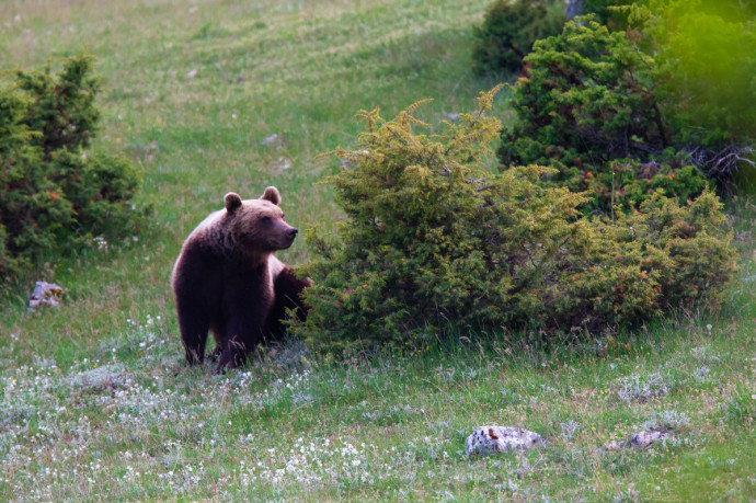 Marsican / Abruzzo brown bear (Ursus arctos marsicanus) adult in spring mountain meadow. Critically endangered subspecies. Central Apennines, Abruzzo, Italy. May 2012