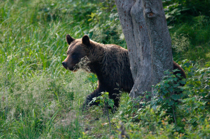 Wild Brown Bear in Bieszczady Mountains, Poland.