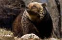 Adult female Marsican/Abruzzo brown bear (Ursus arctos marsicanus).