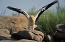 Egyptian vulture, Faia Brava reserve