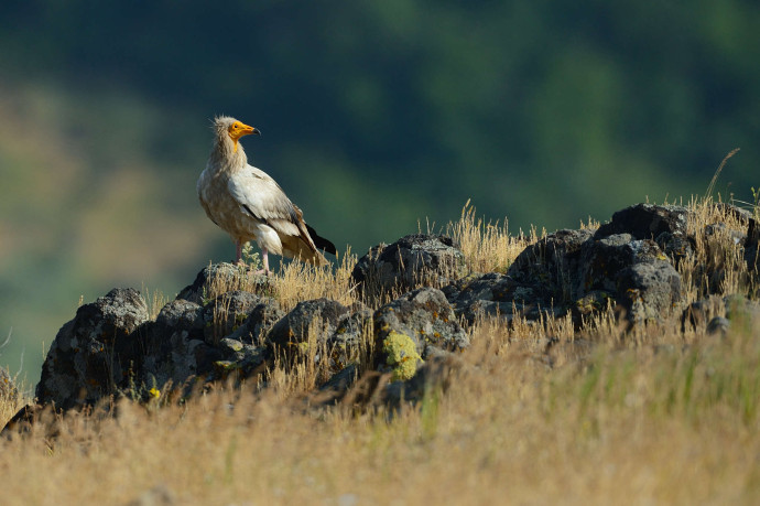 Egyptian vulture in the Eastern Rhodope mountains, Bulgaria