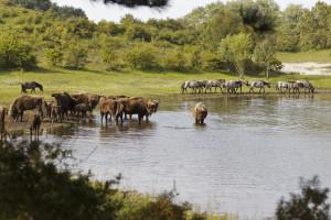 Natural grazing by bison and konik herds in Kraansvlak, The Netherlands.