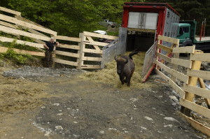 European bison release in the Southern Carpathians, 17 May 2014European bison release in the Southern Carpathians, 17 May 2014