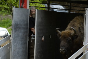 European bison release in the Southern Carpathians, 17 May 2014