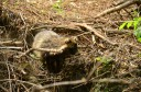 Beaver in the Danube Delta