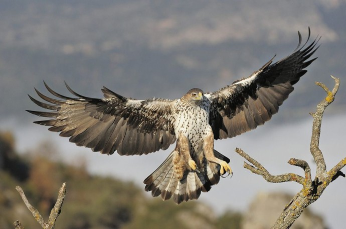 Building nesting platforms in and around the Western Iberia rewilding area will benefit local species such as black stork, black vulture and Bonelli's eagle (pictured).