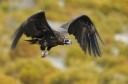 Black vulture in flight, Rhodope Mountains rewilding landscape, Bulgaria.