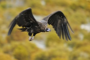 A black vulture in flight over Rhodope Mountains rewilding area in Bulgaria.