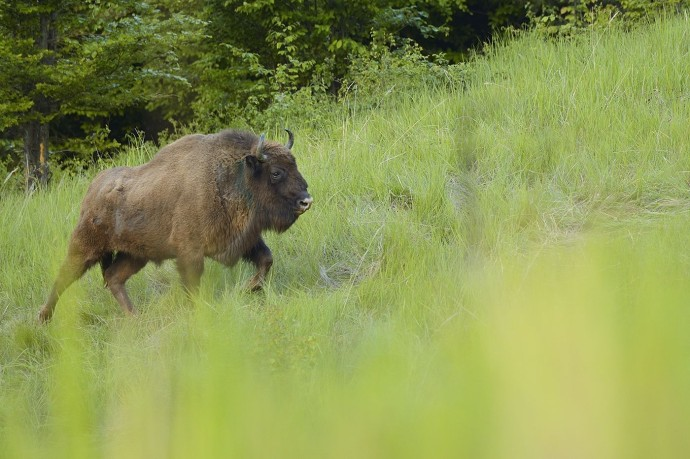 European bison in the Tarcu mountains.