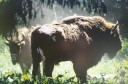 European bison on the Danish island of Bornholm.