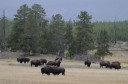 Yellowstone National Park holds some 5,000 free-roaming American bison. A lot of them leave the park in winter and graze in the surrounding areas, creating challenges for bison conservation.
