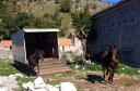 Bosnian mountain horses now reinforce the wild-living herd in Velebit.