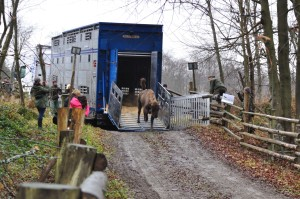 The arrival of the bison to the Eastern Carpathians rewilding area.November 2014.