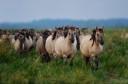 Wild konik horses in Odry delta reserve, Stepnica, Poland