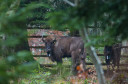 European bison released into the wild in the Eastern Carpathians rewilding area, 19 December 2014.