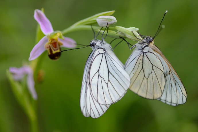 The beauty of wild nature is not only represented by large animals – wonderful Black veined white butterflies on a Woodcock orchid, Bela Reka, Rhodope Mountains, Bulgaria, showing the importance of open grassland habitat.