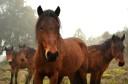 Garrano foals in Western Iberia.