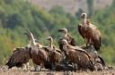 Resting griffon vultures, Gyps fulvus, near Valchi Dol nature reserve, Rhodope Mountains, Bulgaria.