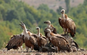 Resting griffon vultures (Gyps fulvus) near Valchi Dol nature reserve,  Rhodope Mountains, Bulgaria.