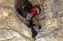 One of the best sites in Europe for close up view of the wallcreeper (Tichodroma muraria) is located in the Western Rhodopes.