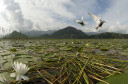 Whiskered Tern, Chlidonias hybrida,