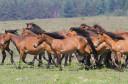 Velebit horse release