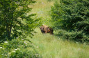 First free European Bison, Southern Carpathians rewilding area, Romania