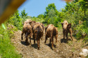 Arrival of new Bison herd to Southern Carpathians rewilding area, Romania