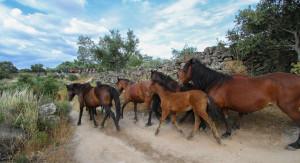 Release of semi-wild Garrano horses