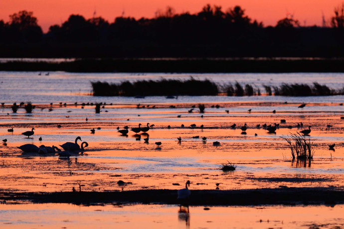 Mute swan, waterfowl, ducks and swans in the Oder Delta rewilding area on the border between Germany and Poland