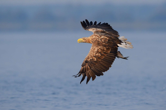 White-tailed sea eagle seen on a sea eagle safari tour in the Stettin lagoon, Poland