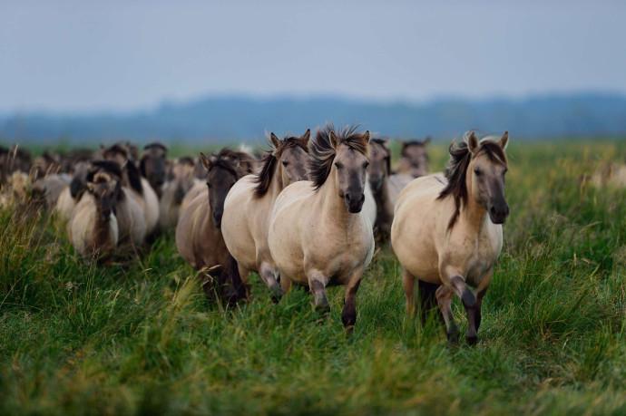 Wild konik horses in the Oder Delta reserve, Stepnica, Poland