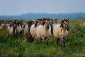 Wild konik horses in Stepnica, Oder delta rewilding area on the Polish side.