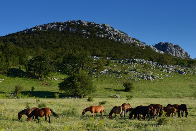 Wild Bosnian mountain horses grazing in Velebit Mountain rewilding area, Croatia.
