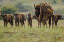 Five European bison calves born in Kraansvlak, the Netherlands.