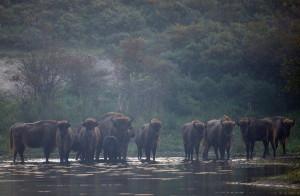 European bison (Bison Bonasus), National Park Zuid-Kennemerland, The Netherlands.