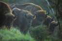 European bison (Bison Bonasus), in a fenced reserve in National Park Zuid-Kennemerland, Kraansvlak, The Netherlands.