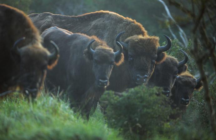 European bison (Bison Bonasus),  in a fenced reserve in National Park Zuid-Kennemerland, Kraansvlak, The Netherlands.