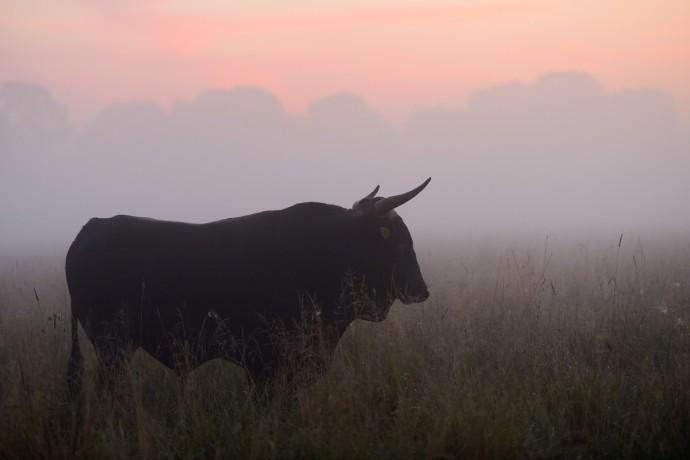Bull of second generation crossbreeds for the Tauros breeding site in the Danube Delta rewilding area, Romania.