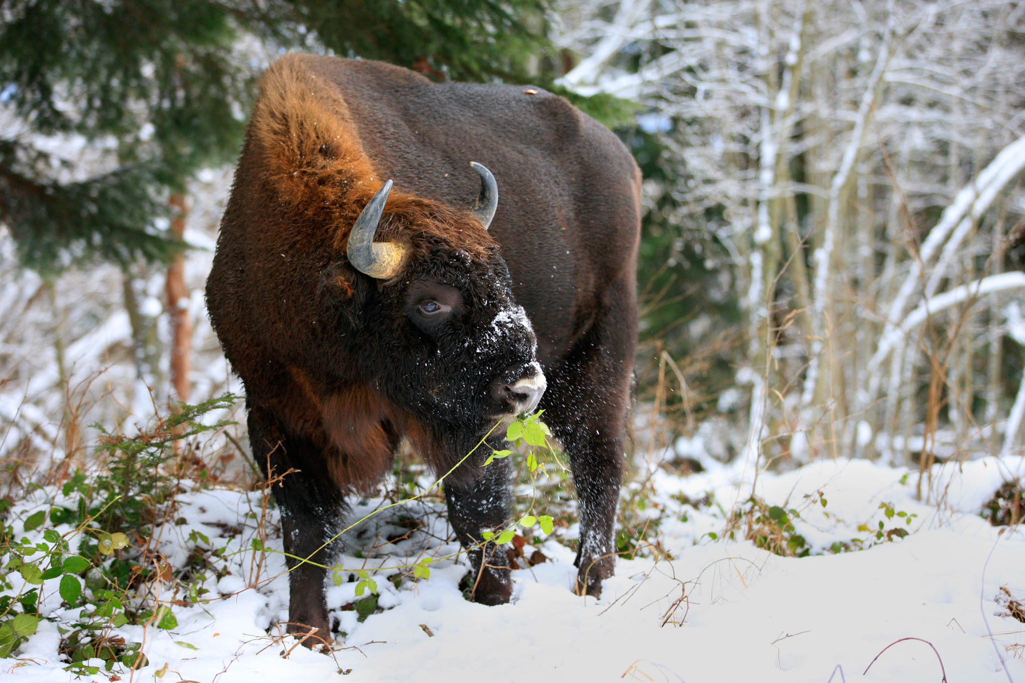 Bison in the Eastern Carpathians rewilding area