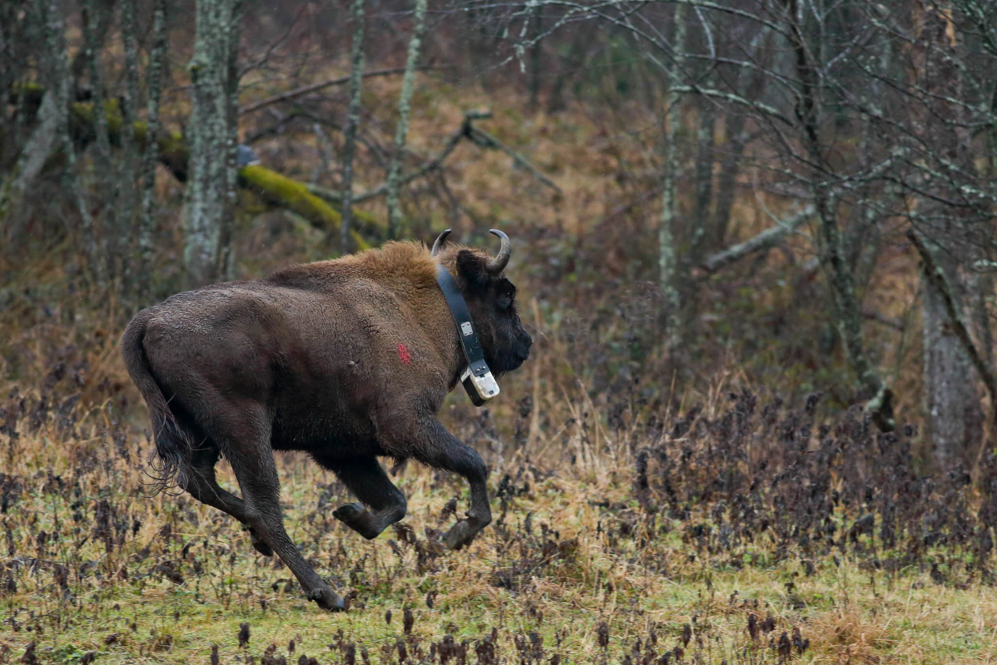 Bison release event in the Eastern Carpathians rewilding area, 19 December 2014