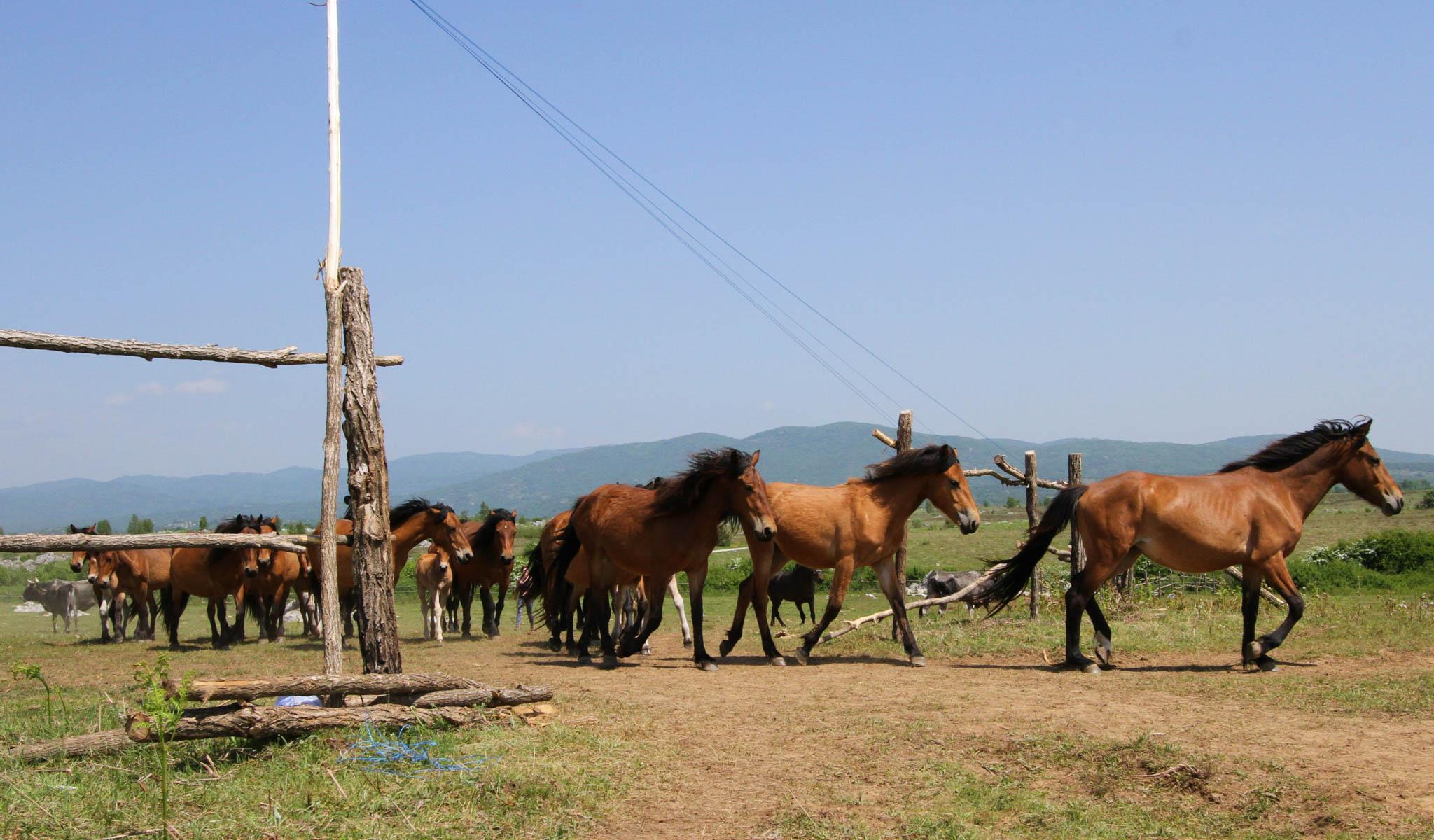 Wild Bosnian mountain horse release in the Velebit rewilding area, on May 19, 2015