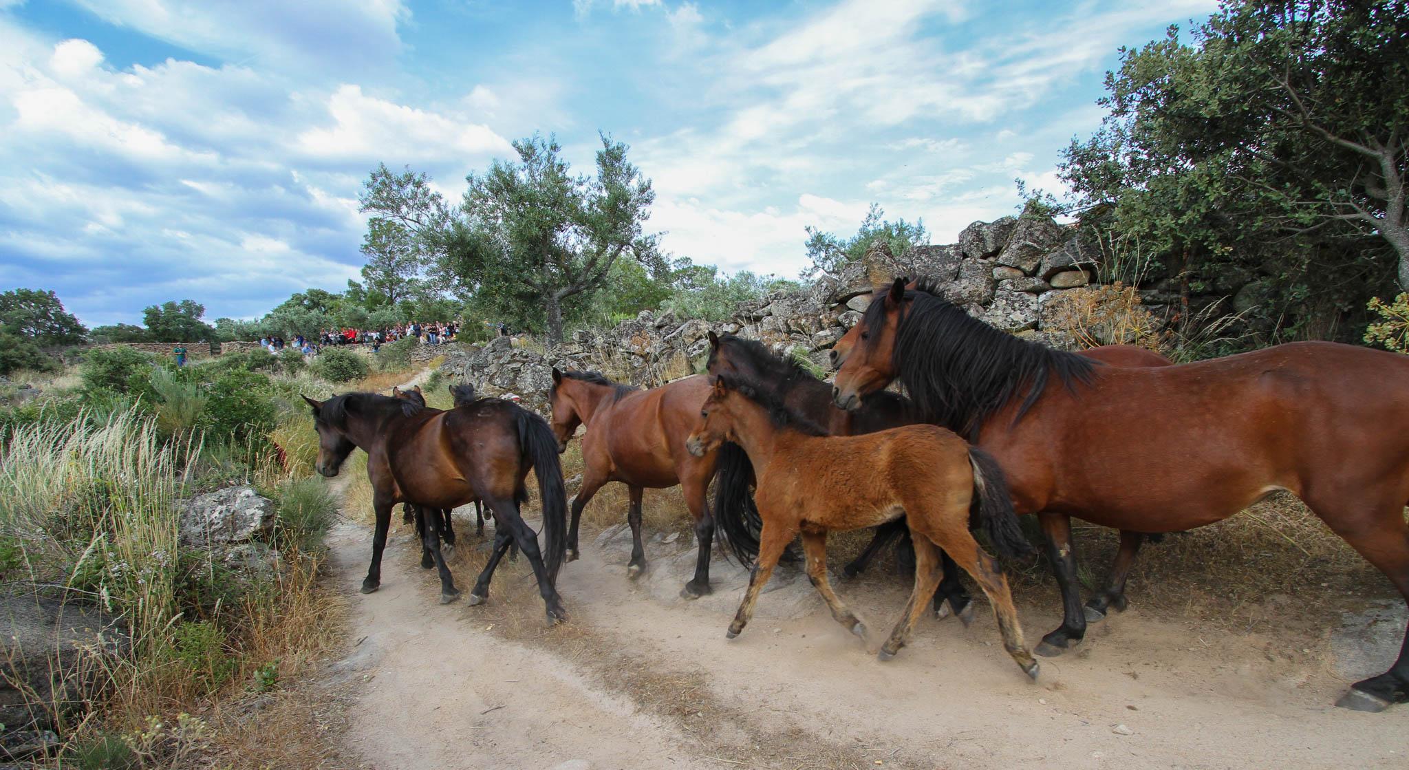 Release of semi-wild Garrano horses in the Faia Brava reserve, Portugal