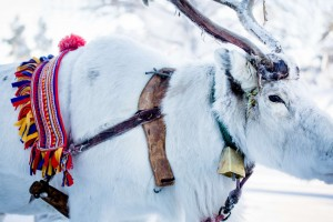 Reindeer with a Sami touch