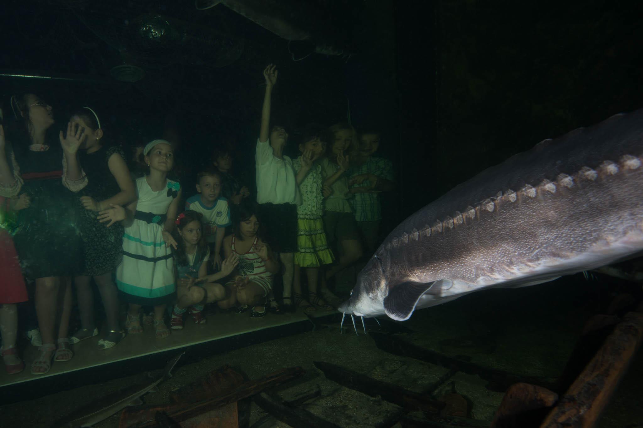 Spectators looking at the beluga, sometimes called European sturgeon.