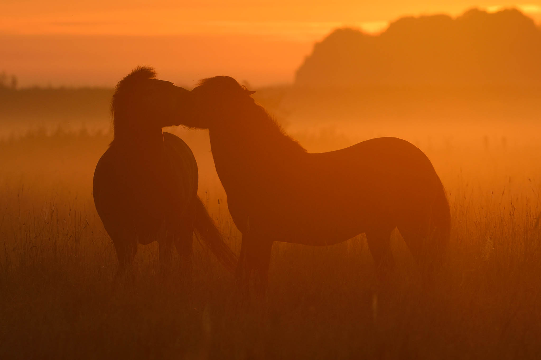 Exmoor ponies, one of the oldest and most primitive horse breeds in Europe